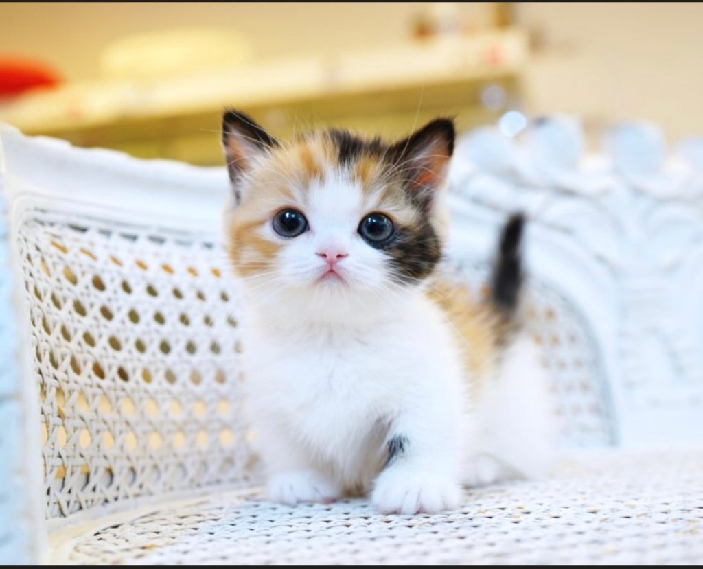 Russian Blue Kittens For Sale Well Groomed Kittens
